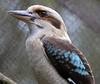 Blue-winged Kookaburra.