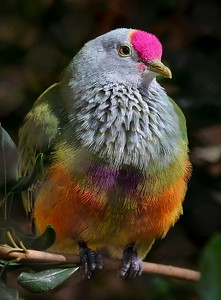 Mariana Fruit Dove in the sun.
