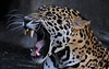 Jaguar yawn.