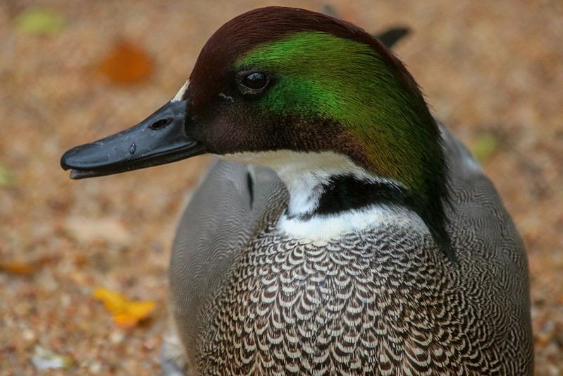Falcated Duck, eastern Asia