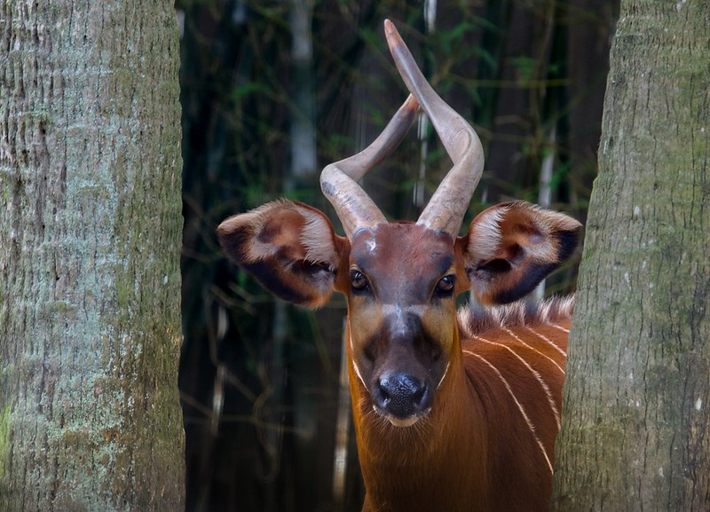 A critically endangered eastern Bongo. They exist in one small section of the Kenyan highland mountains with less than 200 known to exist outside of captivity. Low resistance to disease is considered a major cause of their decline.