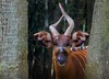 aaa Zoo3-24-17 132A, small, Eastern Bongo, from remote mountains of Kenya only