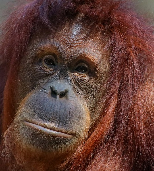 I was surprised to find Orangutans are critically endangered. They come from Borneo and Sumatra. Habitat destruction, poaching and the pet trade have put them at risk.