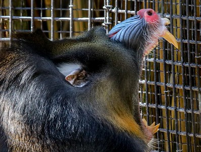 Mandrill. The  wide open mouth is a threatening gesture.