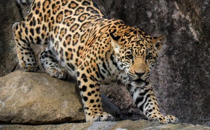 zZoo, Feb 1, 2018 259B, Jaguar cub in stalking posture