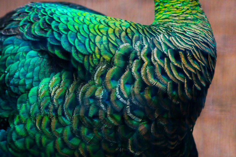 Body feathers of the amazing Green Peafowl, found in Southeast Asia.