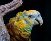 The wildly colorful St. Vincent Amazon.