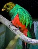Golden-headed Quetzal, primarily found in tropical South American forests.