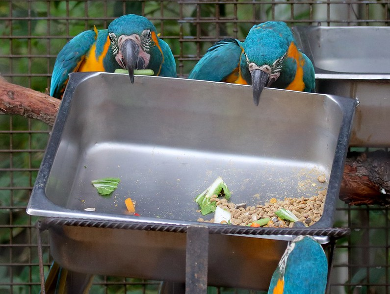 Undeterred by the handle failure, the Macaws took their chaos metality to the food tray. Using teamwork they managed to lift the heavy tray out of its cradle and tossed it over the side. Then they bobbed and weaved their heads in what may be the Macaw version of a high five. Both food bowls had prior dented corners. These colorful clowns have done this before.