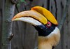 During mating rituals Great Indian Hornbill males have been seen butting heads in flight. They can live up to 50 years in captivity.