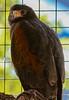 Harris' Hawk.
