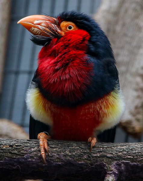 Bearded Barbet, commonly found in tropical west Africa.