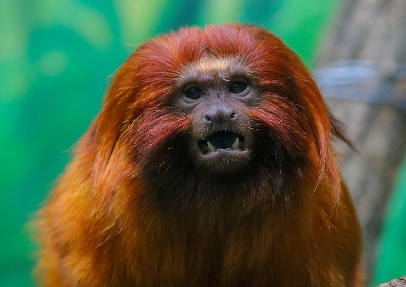 aaa Zoo3-24-17 1310, small, Golden Lion Tamarin