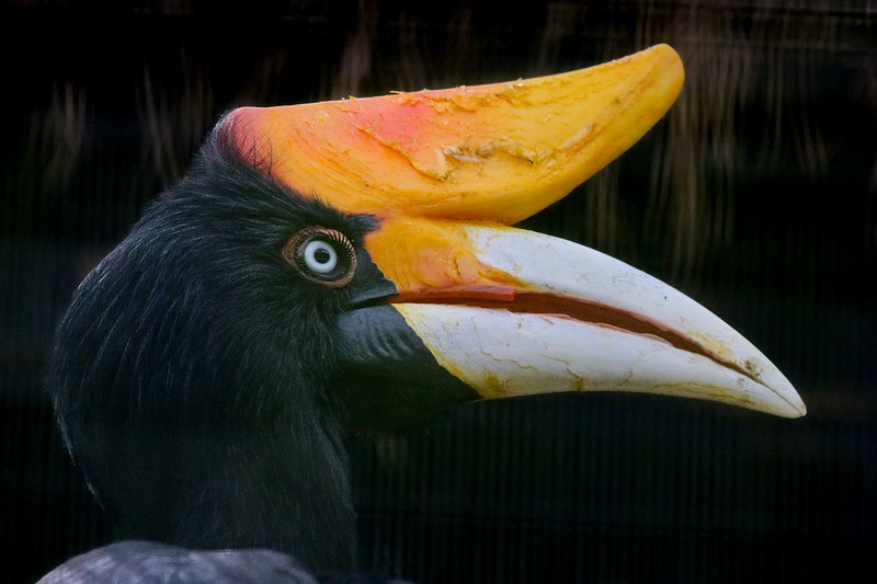 """The Rhinocerus Hornbill of the S.E. Asian rain forests. The male """"walls in"""" the fertile female with mud inside a hollowed tree, leaving a small hole just big enough for the female and chicks to be fed and relieve themselves. When the chicks are ready to fledge the parents tear down the mud wall."""