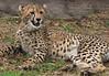 zZoo, Feb 1, 2018 206A Cheetah cub-206