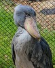 Shoebill (formerly called a Shoebill Stork), found in large swamps of tropical east Africa.
