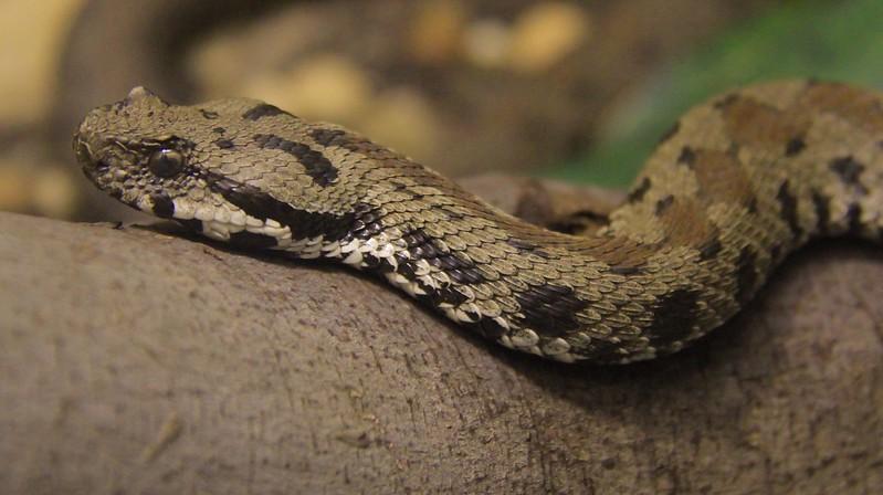 Armenian Viper.