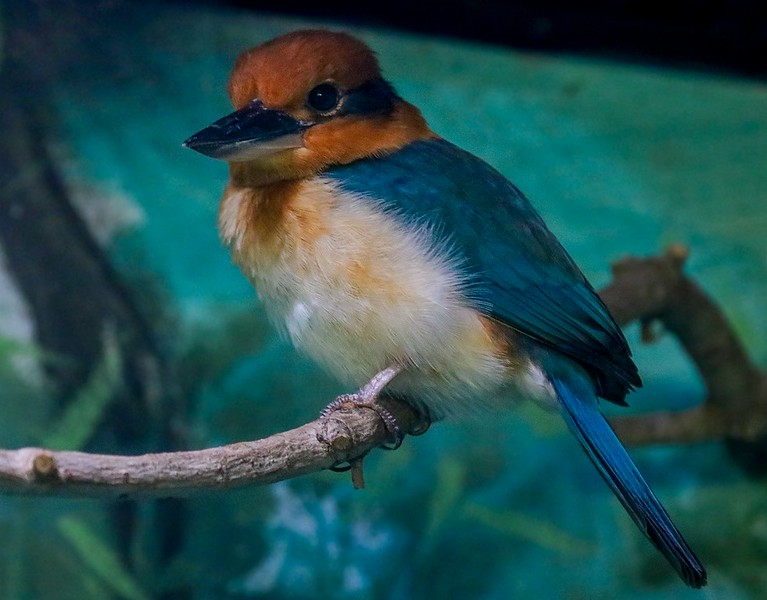 The tiny and very rare Guam Kingfisher was nearly wiped out in less than 2 years by the introduction of Brown Tree Snakes into Guam. Less than a hundred remain, all in captivity.