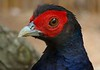 """Malayan Crestless Fireback Pheasant, found in Indonesia, Malaysia and Singapore. Status is """"vulnerable"""" due to significant habitat destruction."""