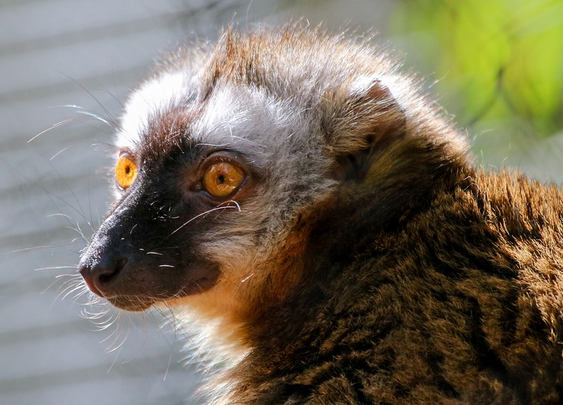 Red-fronted Lemur, native to Madagascar.
