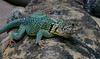 Collared Lizard, a native of Southwest United States from the Ozarks to California.