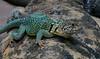 aaa Zoo3-24-17 1120B, small, Collared Lizard on a San Esteban Island Chuckwalla