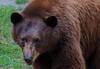 aaa Zoo3-24-17 289B, small, American Black Bear