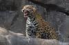 zZoo, Feb 1, 2018 430A male Jaguar jaws open
