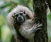 The critically endangered Cotton-top Tamarin was devastated by captures for research prior to 1976. Less than 1000 are left in the wild lowland forests of northwestern Colombia, its only natural habitat.