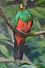 zZoo, Feb 1, 2018 604A Golden-headed Quetzal-604