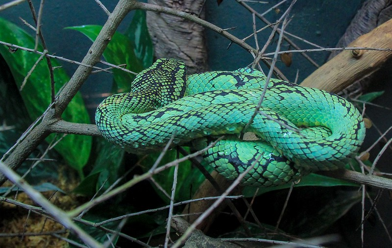 Sri Lankan Green Pit Viper. No points for guessing where it can be found in the wild. Bite venom is neither fatal nor fun.