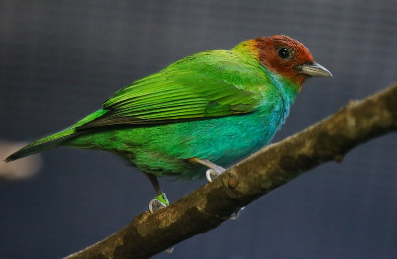 Bay-headed Tanager. Native to Costa Rica, Panama and north Central America.