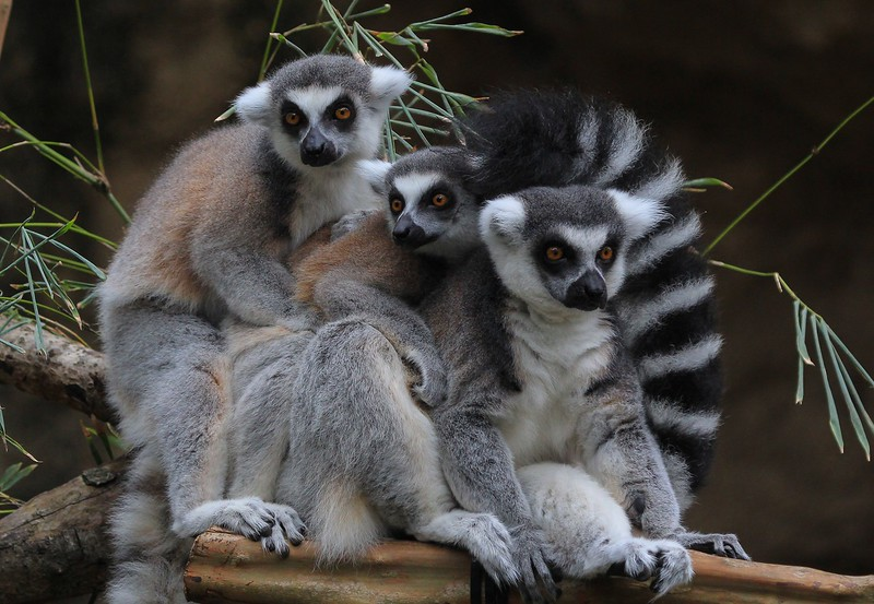 Ring tailed Lemurs (endangered) have tails longer than their bodies. Slightly more exist in captivity than the 2000 or so wild ones left in southern Madagascar.