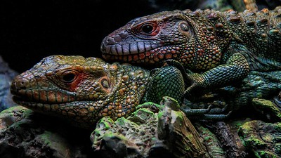 Caiman Lizards.