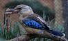 Blue-winged Kookaburra with a mouse which it thoroughly thrashed on the branch.