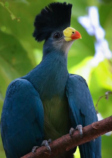 Great Blue Turaco, found in the Bandundu Province of the Congo.