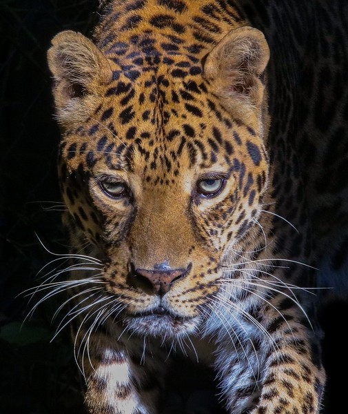 A Jaguar that appears a bit long in the tooth.