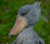aaa Zoo3-24-17 400A, small, Shoebill head