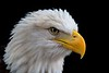 a beautiful but permanently injured Bald Eagle unable to return to the wild..