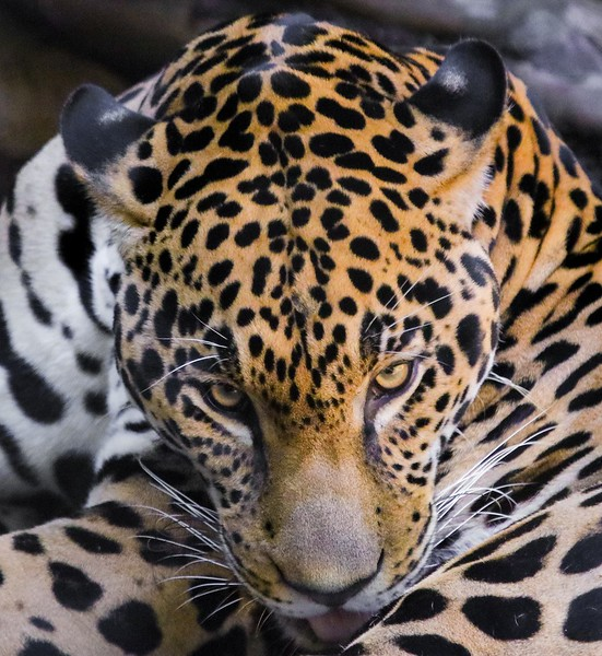 "Jaguar cleaning itself and watching me intently. The ""chicken wire"" separating us began to seem inadequate.."