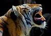 This is Berani, a 4 year old Malayan Tiger that appears to have perfect teeth.