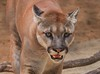 zZoo, Feb 1, 2018 530A adult Cougar face