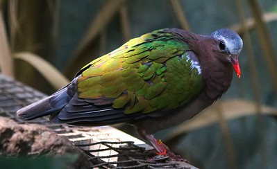 Emerald Dove, found in Southeast Asia and Indonesia.