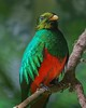 Golden-headed Quetzal, a native of South American forests.