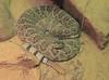 Mohave Rattlesnake.