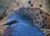 Victoria-crowned Pigeon.