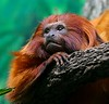 A colorful, fast moving Golden Lion Tamarin.