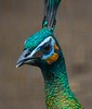 Green Peafowl head. Don't be fooled by the calm good looks-this bird can kill and eat venomous snakes.