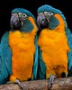 aaa Zoo3-24-17 599A, small, Blue-throated Macaws