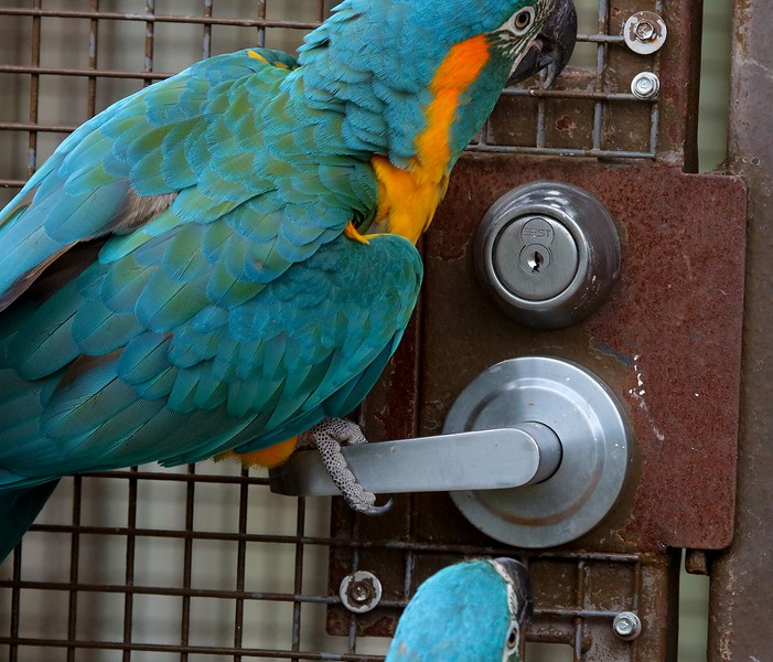 This Blue-throated Macaw and his 2 buddies know how the door latch works and immediately went for the handle after the zookeeper left. It even tried to  push down on the handle by locking its bill in the wire mesh for extra leverage, but it was not strong enough or heavy enough to open it.